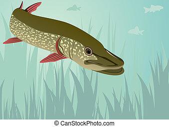 Pike - River and lake predator. Pike swimming among seaweed.