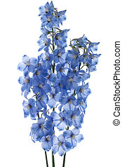 delphinium - Studio Shot of Blue Colored Delphinium Flowers...