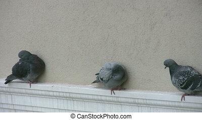 Pigeons resting