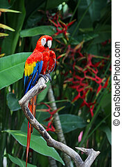red parrot in the rainforest - Indonesia