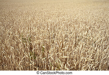 Ears of corn in a field - Spain
