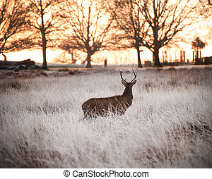 Red deer stag watches sunrise on frosty Winter morning - Red...