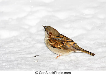 house sparrow in snow - house sparrow sitting in fresh snow...