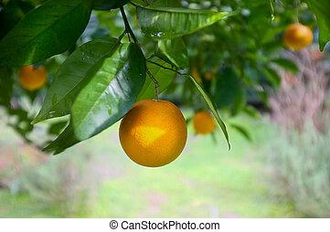 Artistic Ripe Orange on the Tree