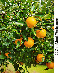 Ripe Oranges on Tree in Florida - Colorful orange tree...