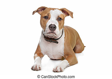 American Staffordshire Terrier in front of a white...