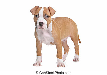 American Staffordshire Terrier puppy - American...