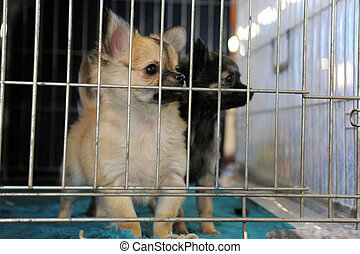 puppies chihuahua in kennel