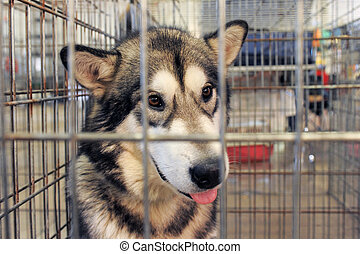 Alaskan Malamute in kennel - sad Alaskan Malamute closed...