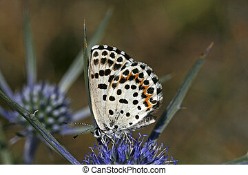 Chequred Blue (Scolitantides orion), Fetthennenblaeuling in...