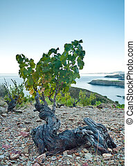 Majestic old vineyards - Vineyard with the Mediterranean Sea...