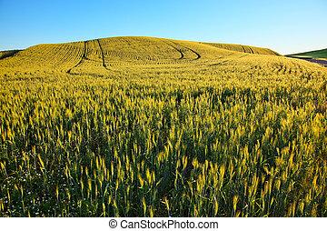 Green Wheat Grass Patterns Blue Skies Palouse Washington State