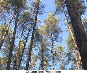 Pine tree tops on background of blue sky.