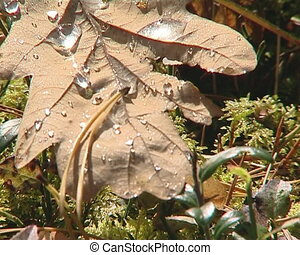 Closeup of autumn oak leaf and waterdrops sunlighted by sun