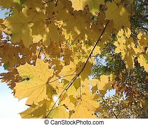 Sunlight visible through yellow maple tree leaves in autumn.