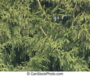 Evergreen tree branches and small birch tree moving in wind.