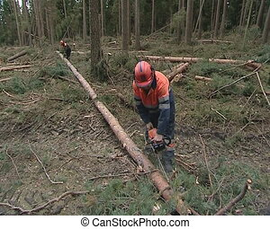 Forest cleaning after storm. Workers cut trees with...