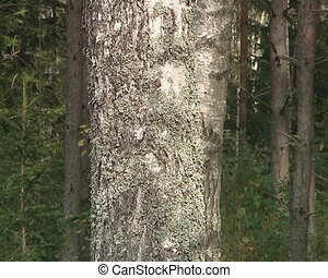 Birch tree trunk closeup textures and details in forest.
