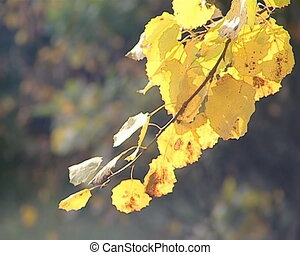 Autumn birch tree leaves colored yellow. Awesome natural view.