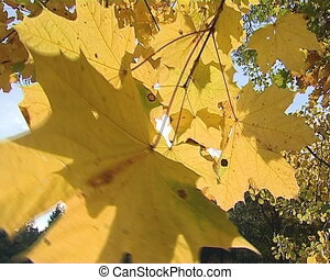 Autumn mapple tree  yellow leaves moving in wind and sunlight.