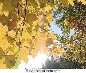 Sun visible through yellow maple tree leaves in autumn.