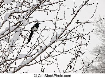 hudsonia), árbol, urraca,  (pica,  perched,  black-billed