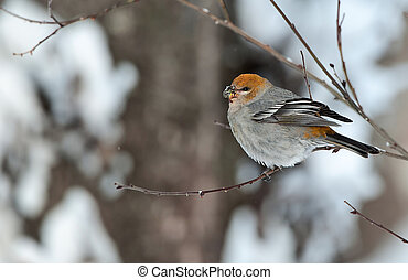The Pine Grosbeak female - A female Pine Grosbeak Pinicola...