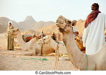 Bedouins and camels - Bedouins and their camels in desert