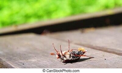 Maybug upside