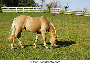 Palomino Horse in Summer Field - A lone palomino horse...
