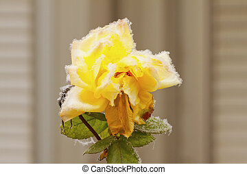 Rose with snow - A yellow rose covered by the snow