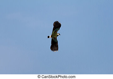 Lapwing flying in the blue sky