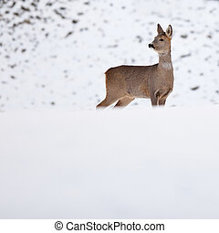 Roebuck in winter - Roebuck (capreolus capreolus) in winter