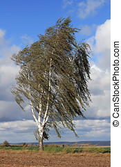 Birch tree in the storm - The silver birch Betula pendula...