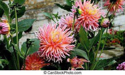 Flowers - red dahlia