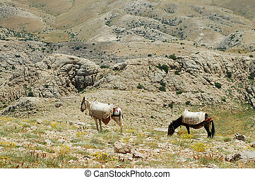 Desert landscape with horses in Northern Kurdistan, East...