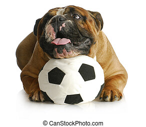 dog playing with ball - english bulldog with head laying on...