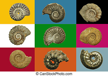 Different genres of ammonites