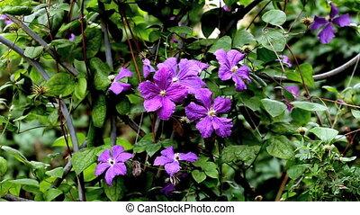 Flowers Campanulaceae - Legousia speculum-veneris