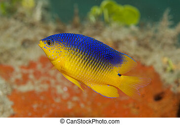 Juvenile Cocoa Damselfish, picture taken in south east...