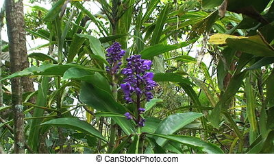 Purple Orchid - Papua New Guinea, purple orchid growing in...