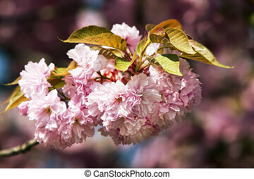 Japanese cherry-tree - Soft glow of Japanese cherry-tree...