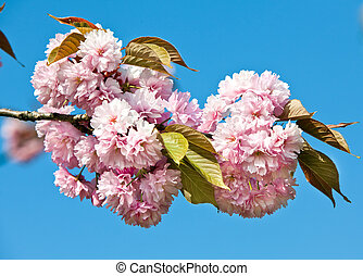 Japanese cherry-tree blossom - Sakura Japanese cherry-tree...