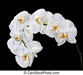 White Phalaenopsis - Phalaenopsis White orchid isolated on...