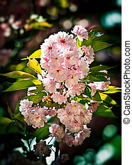 Japanese cherry-tree blossom - Soft glow of Japanese...