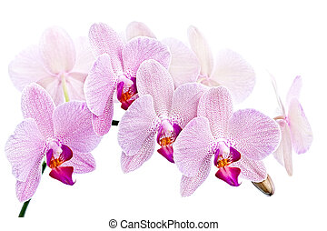 Phalaenopsis. Orchid isolated on white background