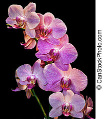 Phalaenopsis. Orchid isolated on black background