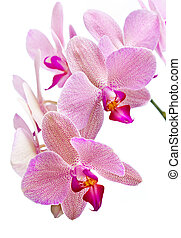 Phalaenopsis Orchid isolated on white background