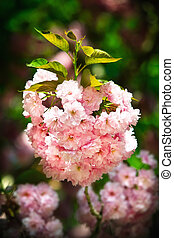 Japanese cherry-tree blossom - Sakura Soft glow of Japanese...