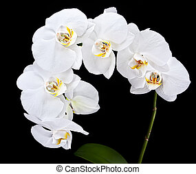 White Phalaenopsis - Phalaenopsis White orchid on black...